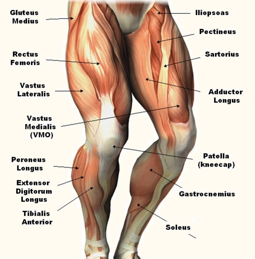 Leg Muscles Diagram